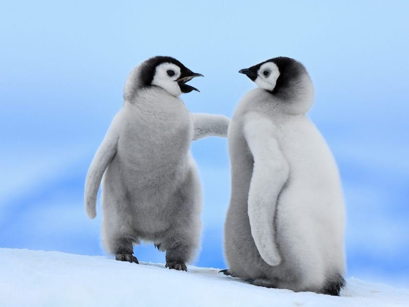 good-conversation-emperor-penguins-snow-hill-island-antarctica1